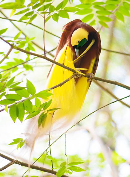 paradisaea_no6_bird_of_paradise